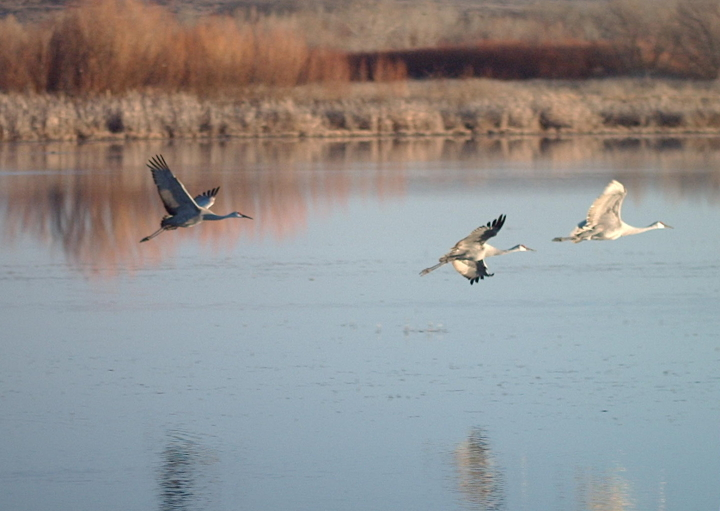 3Grus_canadensis_flying1