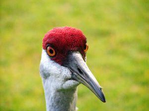 231310_sandhill_crane-closeup_1