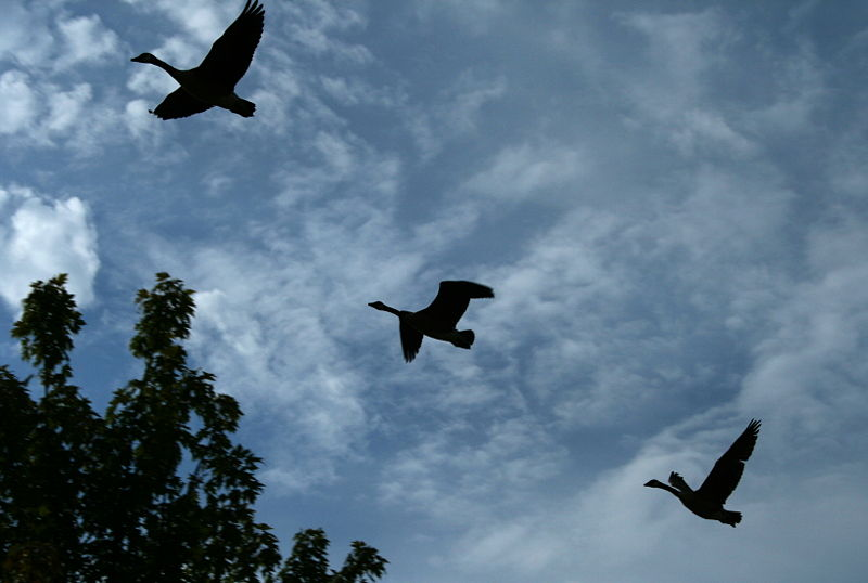 800px-2008-07-25_Geese_over_RTP