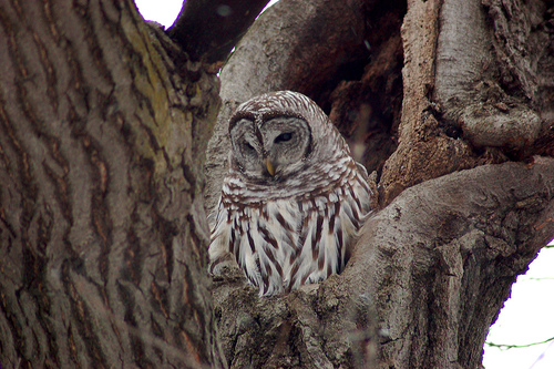 Barred_Owl-Minnehaha_Park-2006-01-09