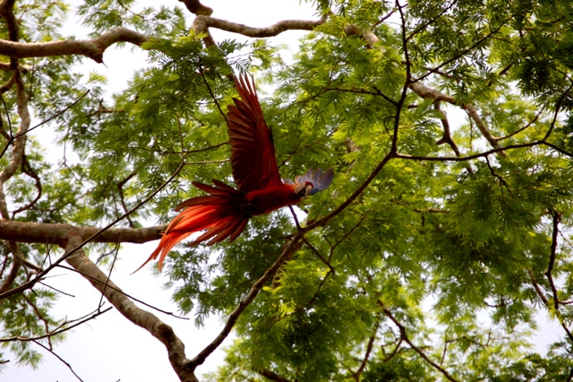 Macaw flying web