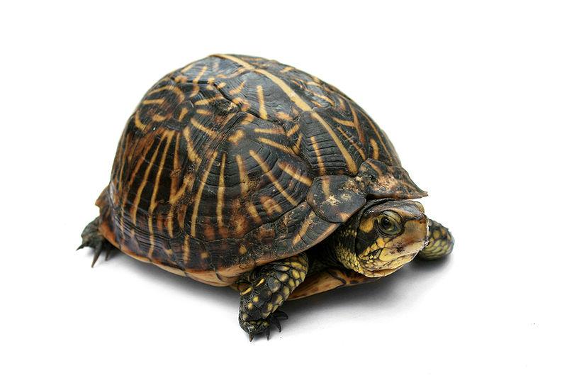 800px-Florida_Box_Turtle_Digon3