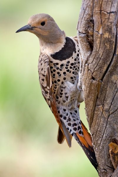 400px-Northern_Flicker