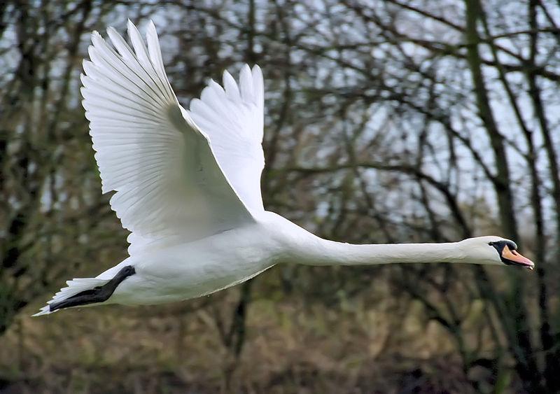 800px-Mute_swan_flies_arp