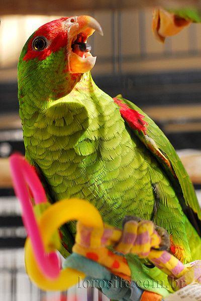 400px-Amazona_pretrei_-bird_cage-8b