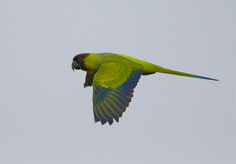 Nanday flying