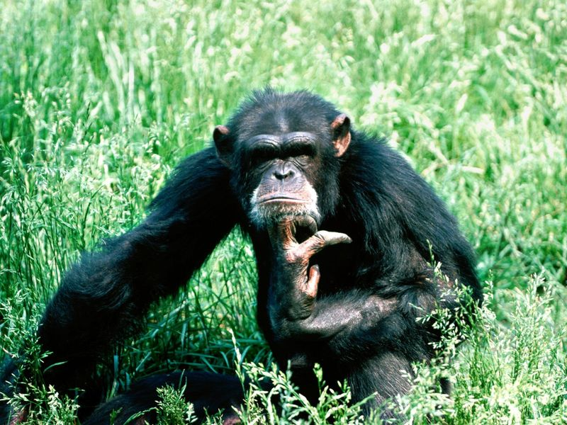 Lost-in-thought-chimpanzee-pictures