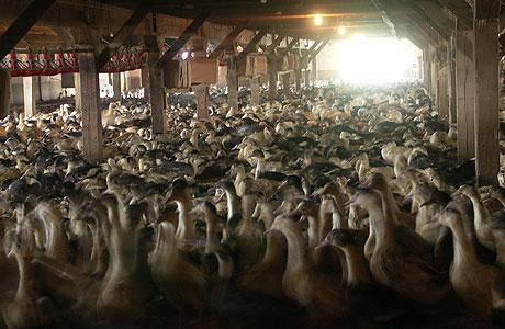 Foie-gras-farm-lg