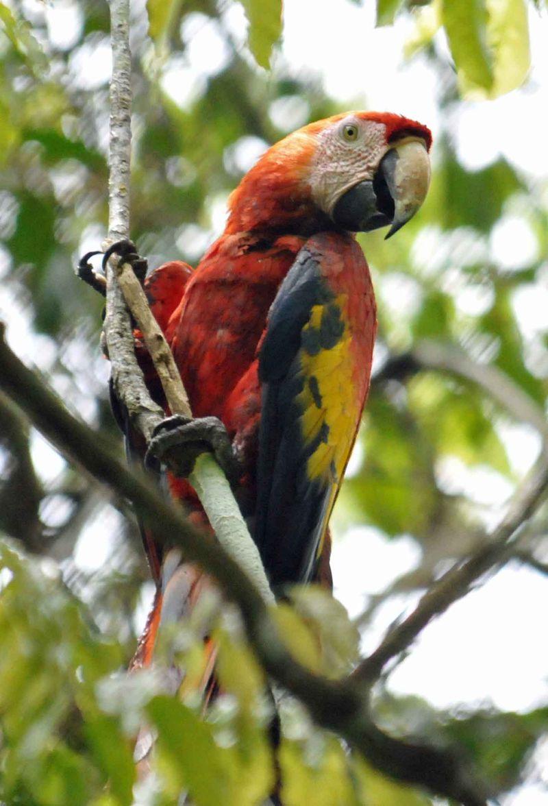 Adult macaw pIIc