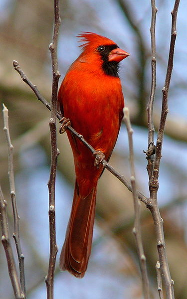 375px-Northern_Cardinal_Male-27527-3
