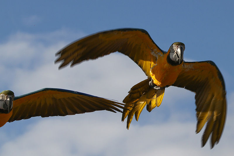 Blue and Gold Macaw - Sander van der Wel800px-Ara_arara_-Diergaarde_Blijdorp_-two_flying-8a