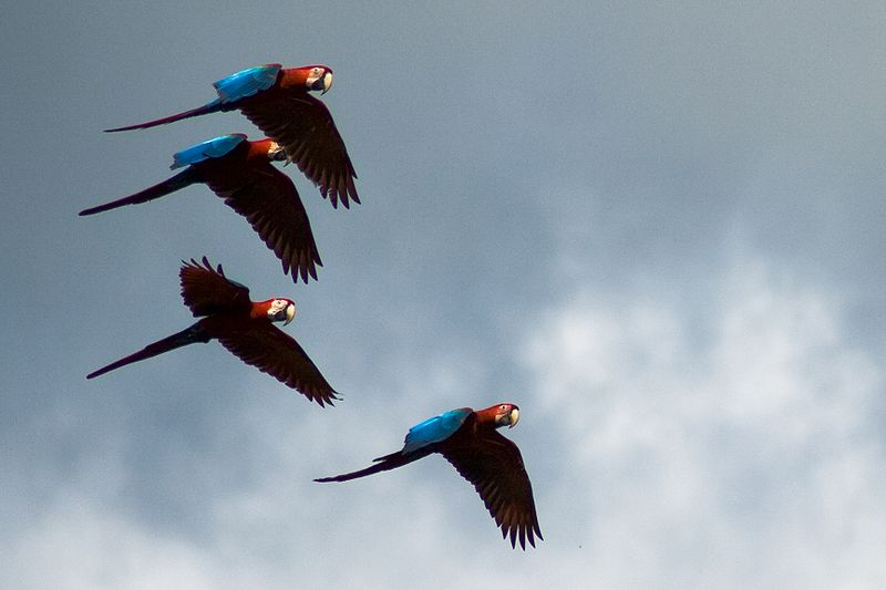 Green-winged macaws Ricardo Sanchez 800px-Ara_chloropterus_-Peru_-four_flying-8