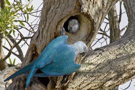 Spix-Tree-3_web ' last known nest