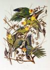 Carolinaparakeets